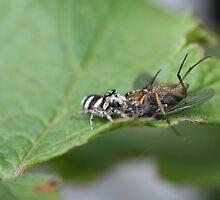Spider and victim (Salticus Spider) by SKNickel