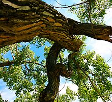 Ancient Native Cottonwood Tree by dsphotography