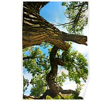 Ancient Native Cottonwood Tree Poster