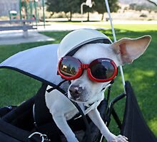 Chihuahua Keeping an 'Ear' Out for Danger by Corri Gryting Gutzman