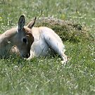 peacefully watching - port lympne zoo by ClaireTiltman