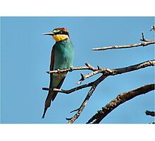 EUROPEAN or GOLDEN-BACKED BEE-EATER - merops nubicoides Photographic Print