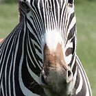 zebra - port lympne zoo by ClaireTiltman