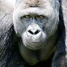 gorilla - port lympne zoo by ClaireTiltman