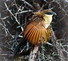 Burchell's Coucal (immature) by KAREN SCHMIDT
