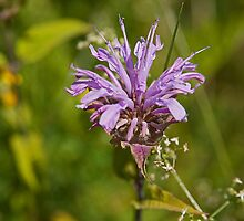 Wild Bergamot by Mike Oxley