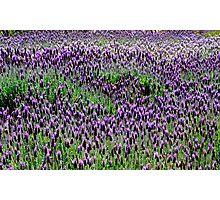 Lavender floral Display Photographic Print