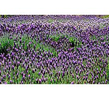 Lavender floral Display Photographic Print
