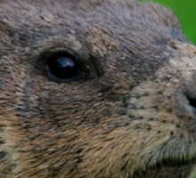 Woodchuck Profile Sticker