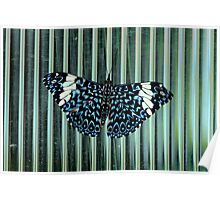 Hamadryas Amphinome (Blue Cracker) Butterfly Poster