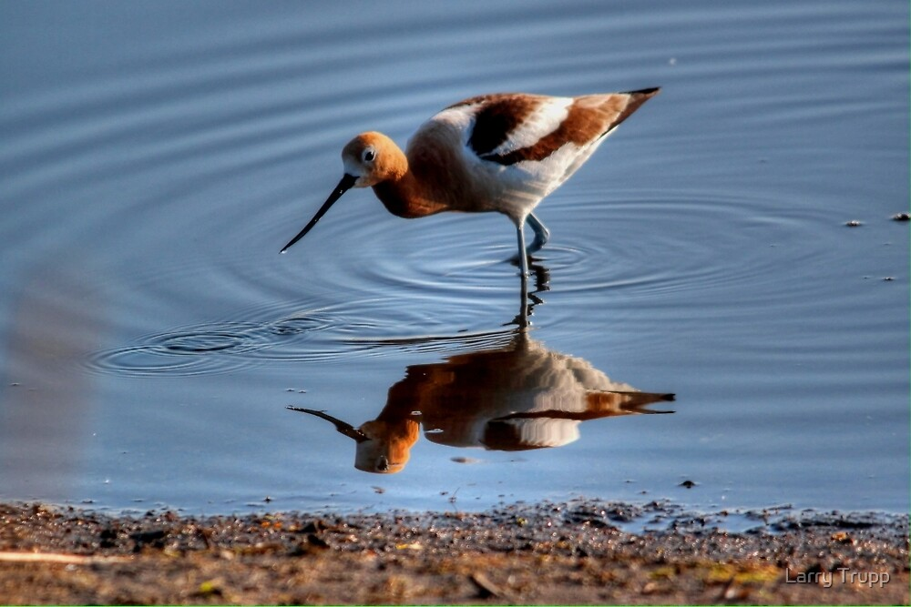 Avocet (reflected) by Larry Trupp