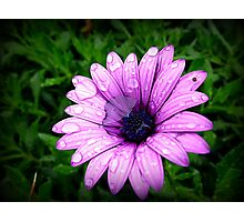 Wet & Miserable Daisy Photographic Print
