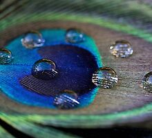 Male Peacock Feather by JayWolfImages