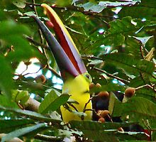 Toucan downing a fruit by Barry Hobbs