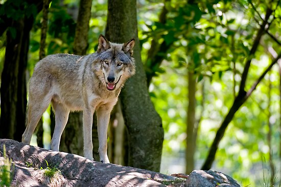 Timber Wolf on Rocks by Michael Cummings
