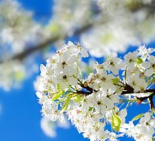 Spring white cherry flowers by ellensmile