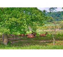Elk Herd Photographic Print