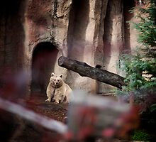 My Inner Brown Bear, Melbourne Zoo by Russell Greenwood