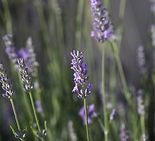 The Smell Of Lavender by Joy Watson