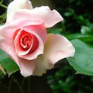 Rose III by KAVU