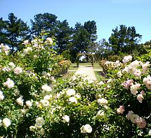 View of State Rose Garden  Arbor from Gazebo by EdsMum