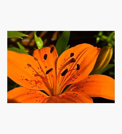 Orange Lily Photographic Print