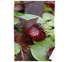 Fringed Helmet Orchid - Corysanthes fimbriata Poster