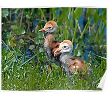 Sandhill Crane chicks Poster