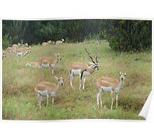 Blackbuck-antilope cervicapra Poster