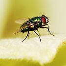 Bottle Fly by Matthew Pugh