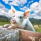 Cute White Pig Looking Over Wall by Graham Prentice