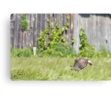 Female Northern Harrier  Canvas Print