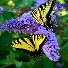 Double Swallowtails by Brent McMurry