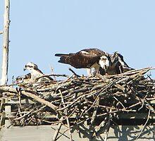 Family of 5 Ospreys by DigitallyStill