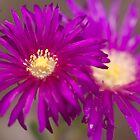 Purple Ice Plant by Harv Churchill