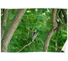 Yellow-bellied Sapsucker Poster