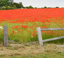 Poppy Fields by TREVOR34