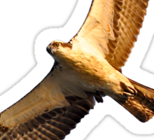 Osprey T-Shirt Sticker