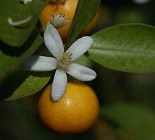 citrus by Fran E.