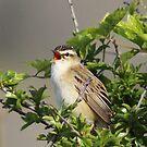 Reed warbler by Meurig Davies