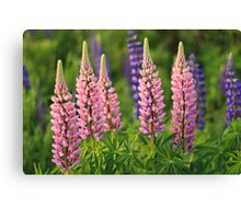 June Lupins Canvas Print