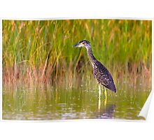 Yellow-Crowned Night Heron (Juvenile) Poster