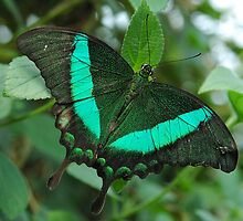 Emerald Swallowtail - (Papilio palinurus) by Robert Taylor