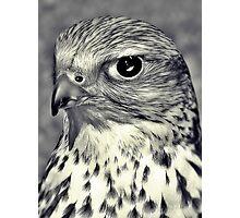 The Stare Of A Saker Falcon. Photographic Print