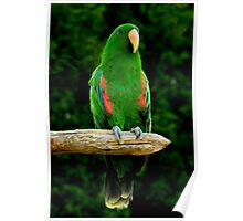 Eclectus Parrot - (Eclectus roratus) Poster