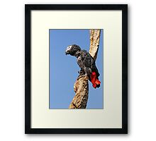 African Grey Parrot - (Psittacus erithacus) Framed Print