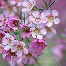 Pink jungle, Australia wild flowers by Kornrawiee