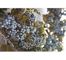 My vineyard  Photographic Print