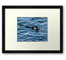 Australian Fur Seals at playing Framed Print