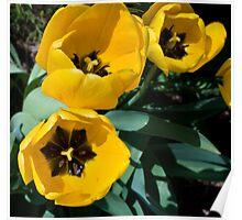 Yellow Tulip-North York Ontario Poster